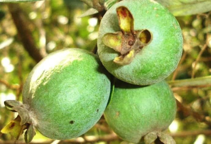 Фейхуа плоды