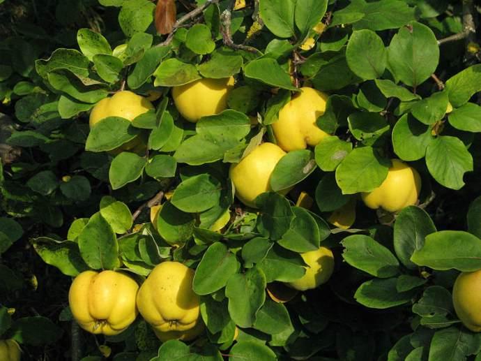 Хеномелес плоды