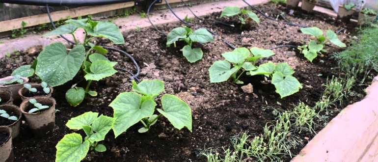Выращивание кабачков в открытом грунте