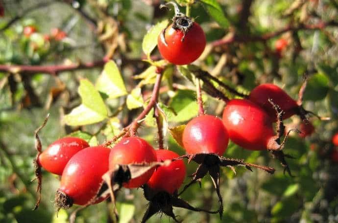Шиповник растение ягода