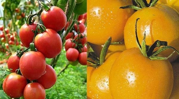 Сорта томатов для западной сибири