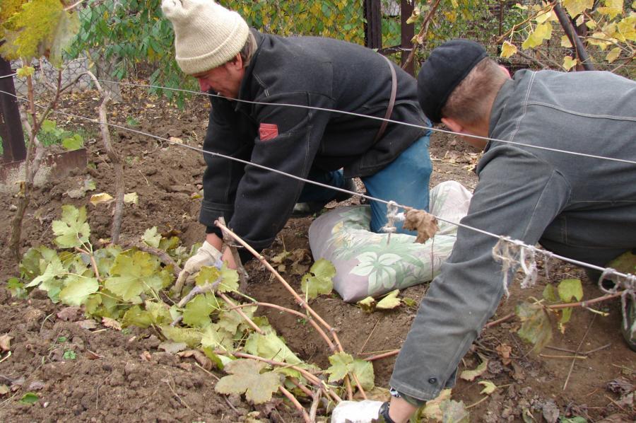 Когда нужно закрывать виноград на зиму при какой температуре. При какой температуре укрывать виноград на зиму{q}