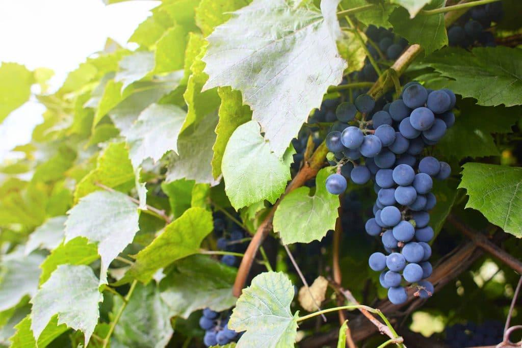 Агатам виноград