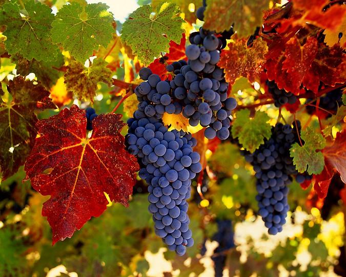 Виноград выращивание и уход в татарстане видео