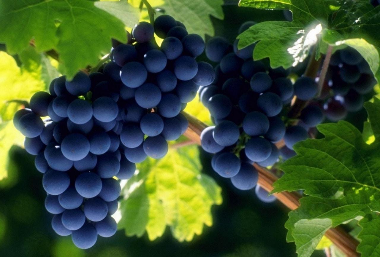 Уход за виноградом осенью: обрезка и подготовка к зиме, подкормка и полив, видео