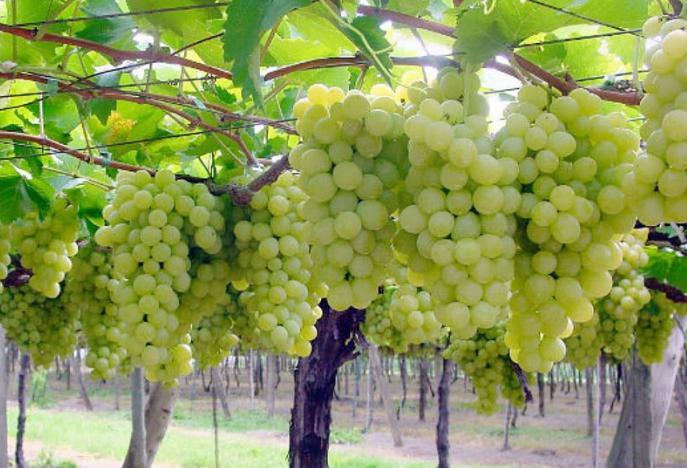 Супер Экстра виноград: описание сорта и отзывы