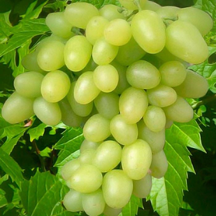 Виноград аркадия посадка и уход формировка шпалера