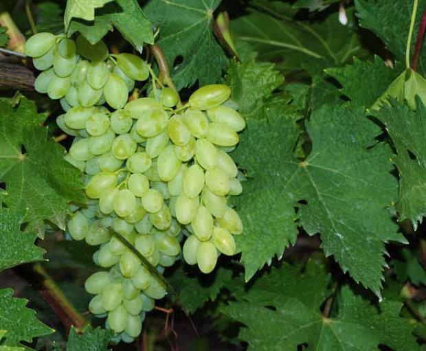 Виноград кишмиш столетие описание сорта