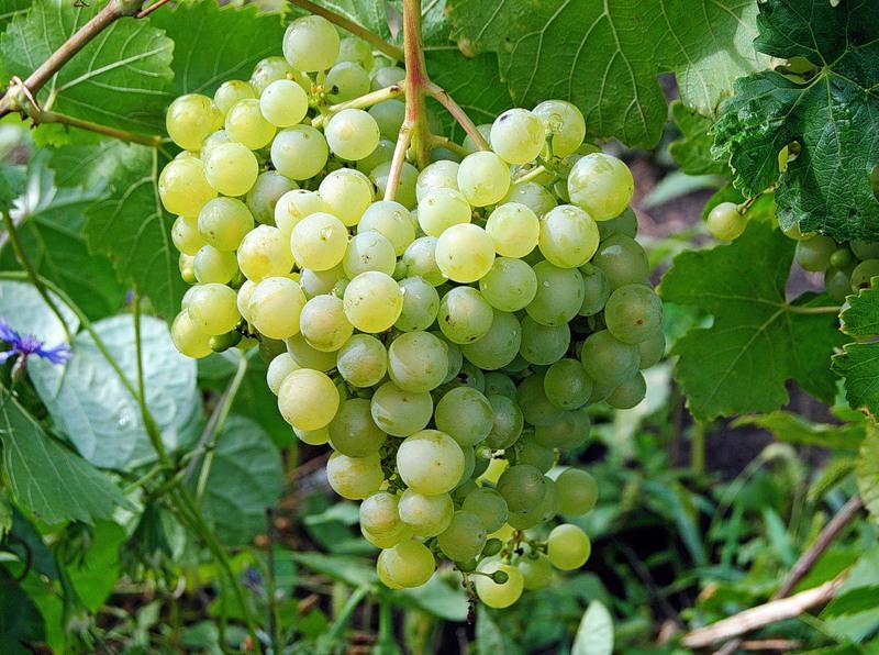 Обрезка винограда алешенькин осенью