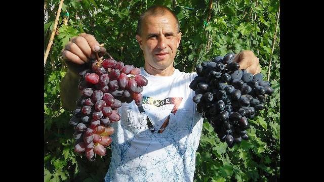 Виноград Байконур характеристика и описание сорта посадка и уход
