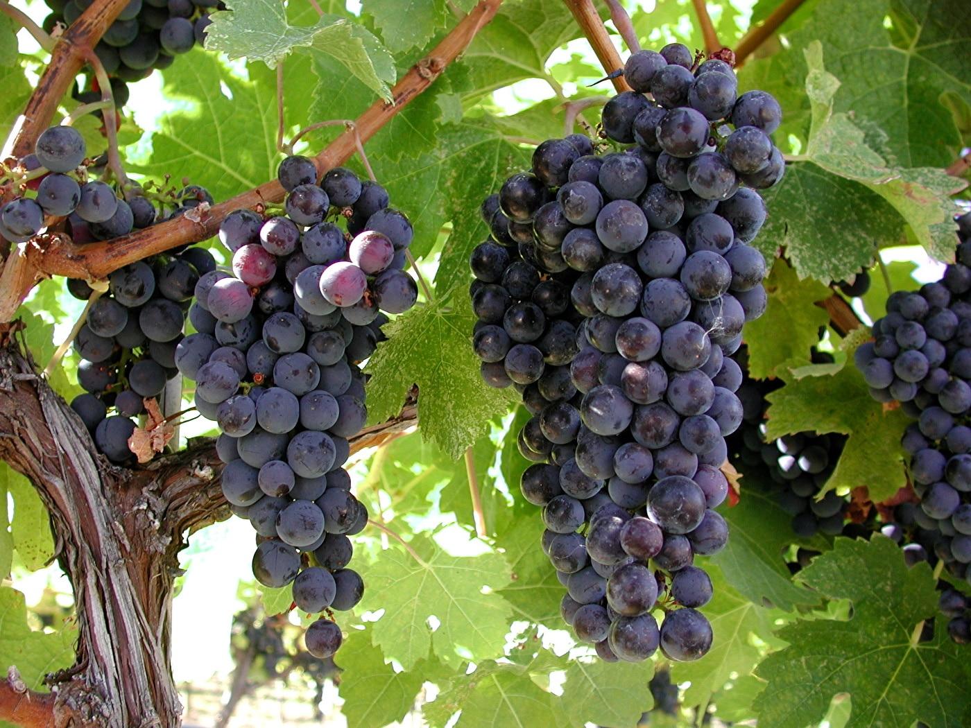 Виноградные теплицы