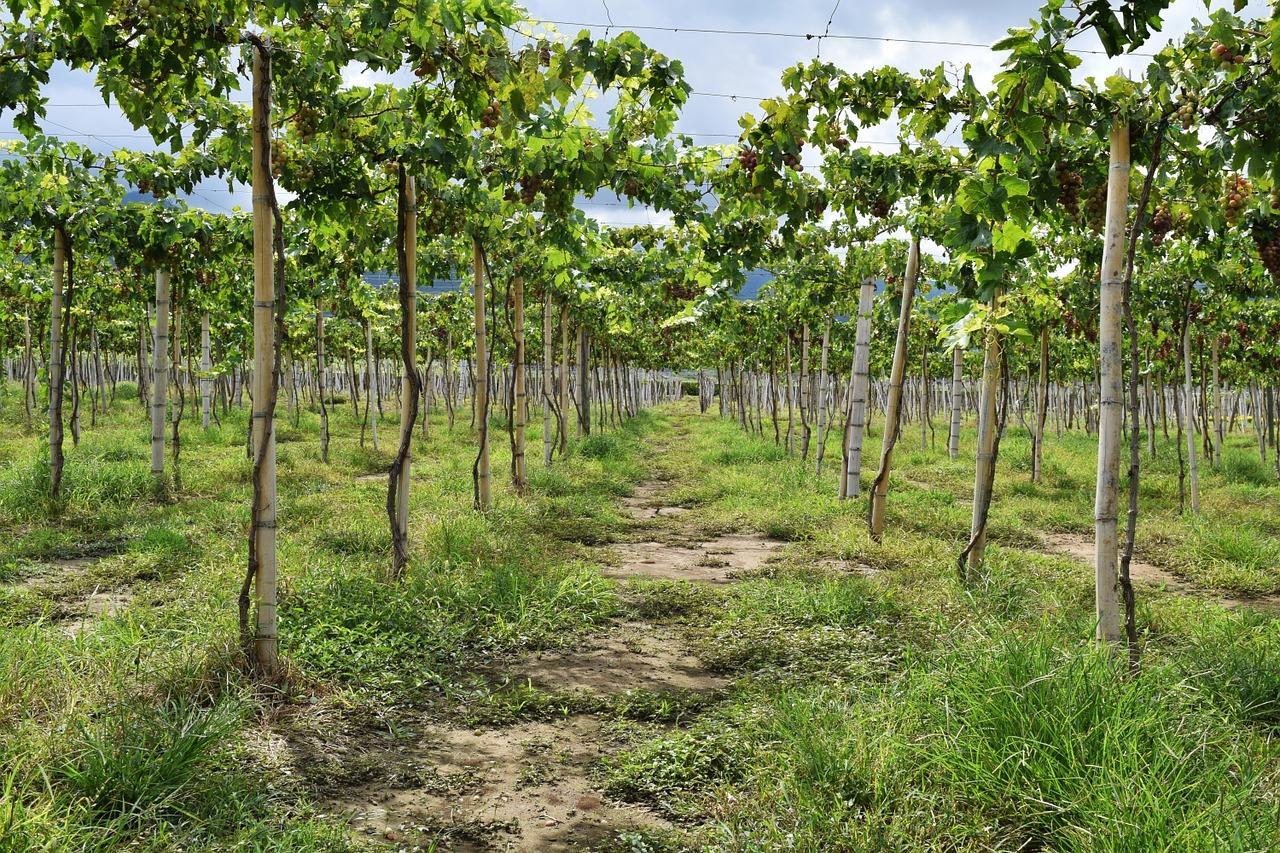Описание и характеристики винограда сорта Галахад достоинства и недостатки