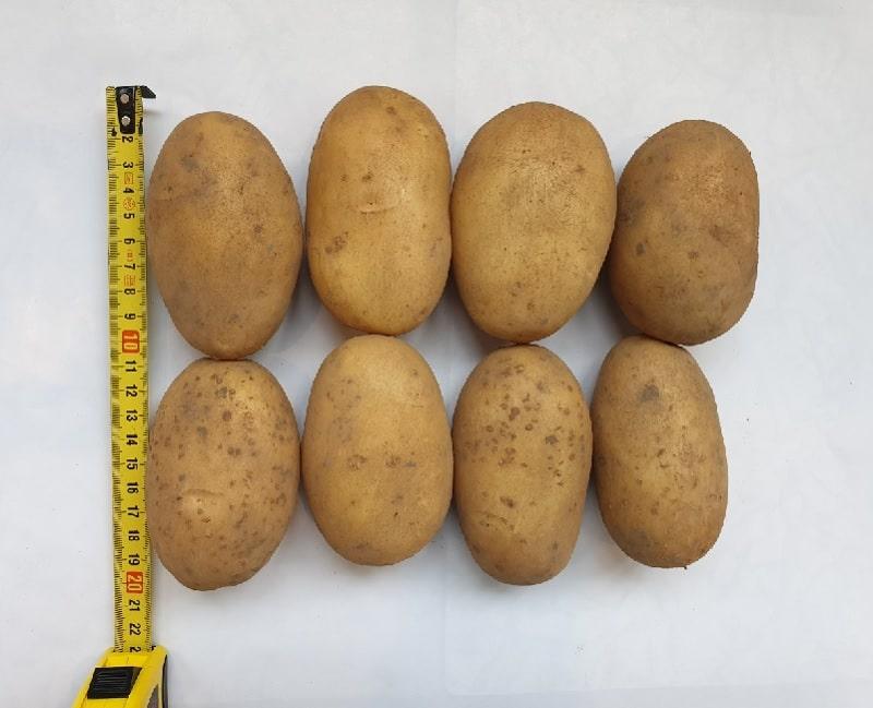 Сорт картофеля королева англии