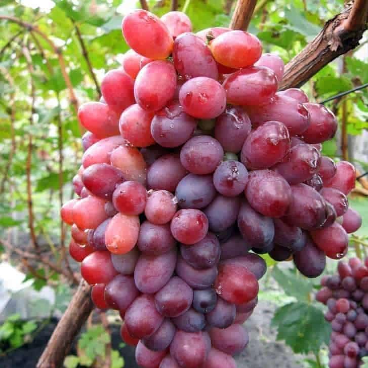 Виноград Красотка (Павловского Е.Г.) - фото, видео, описание сорта