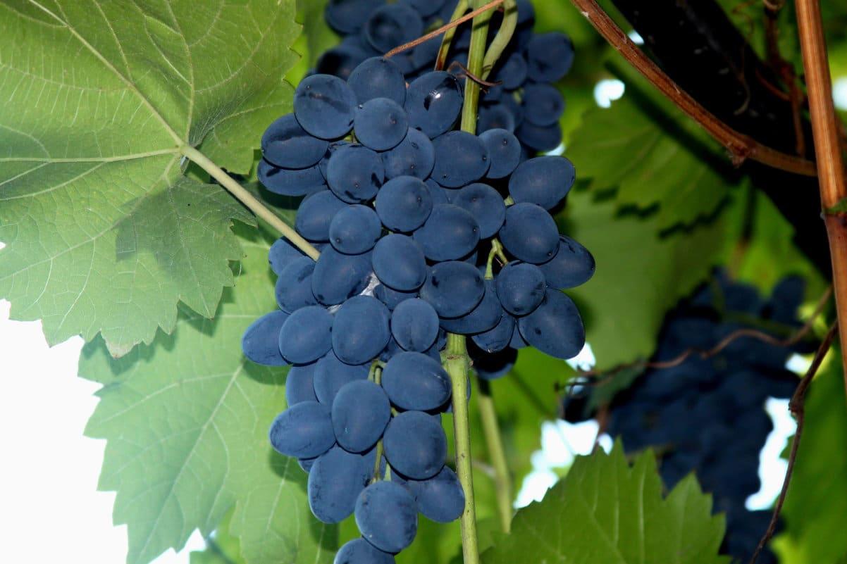 Описание сортов винограда по алфавиту