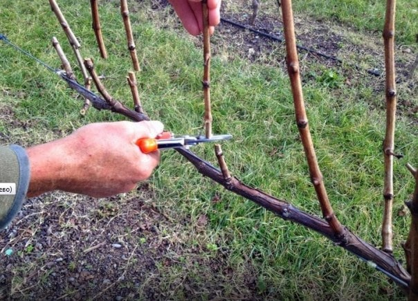 Виноград Цитронный Магарача: описание сорта и характеристики, выращивание