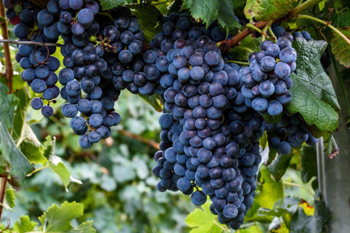 Формирование виноградной лозы в подмосковье