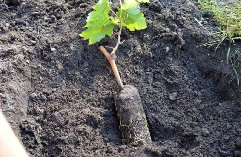 Виноград плевен описание сорта фото отзывы видео