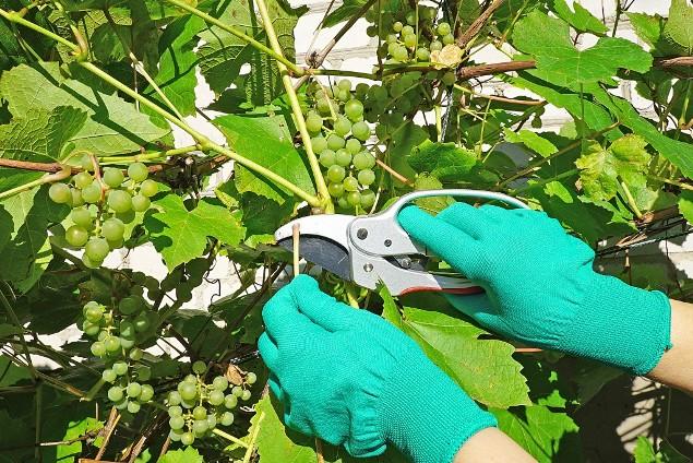 Монарх технический виноград описание сорта