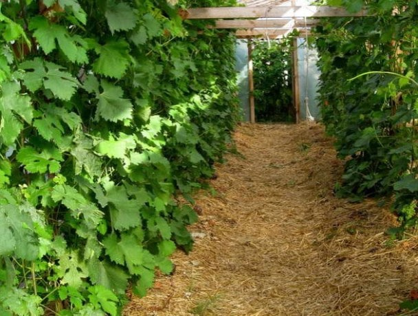 Пересадка винограда на новое место осенью – как правильно пересаживать растения разного возраста?