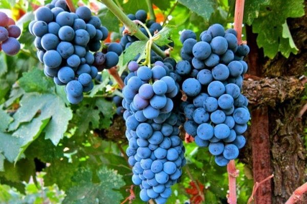 Сорт винограда Мерло: фото, отзывы, описание, характеристики.