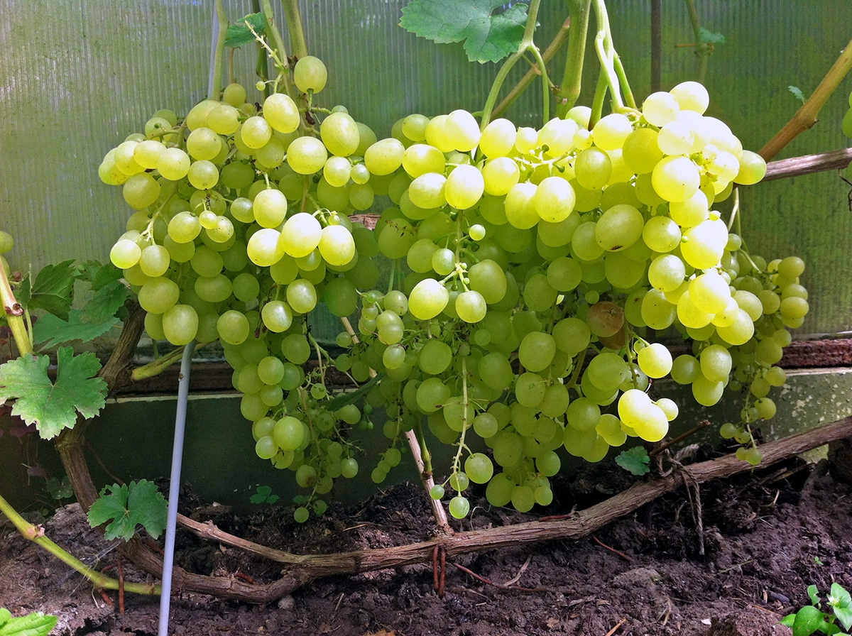 Очень ранние сорта винограда