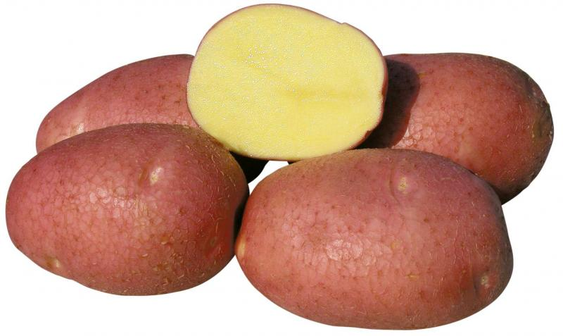 Картофель Беллароза: описание, выращивание, уход и фото