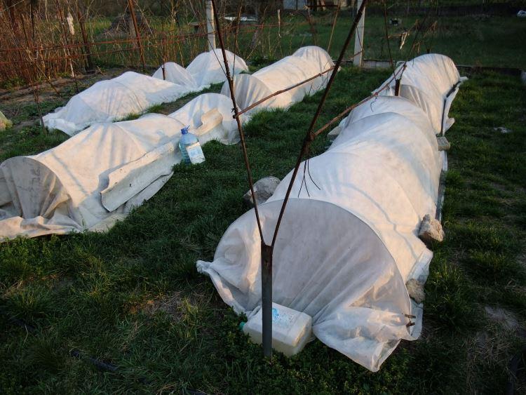 Какую температуру выдерживает виноград без укрытия: при какой минусовой замерзает