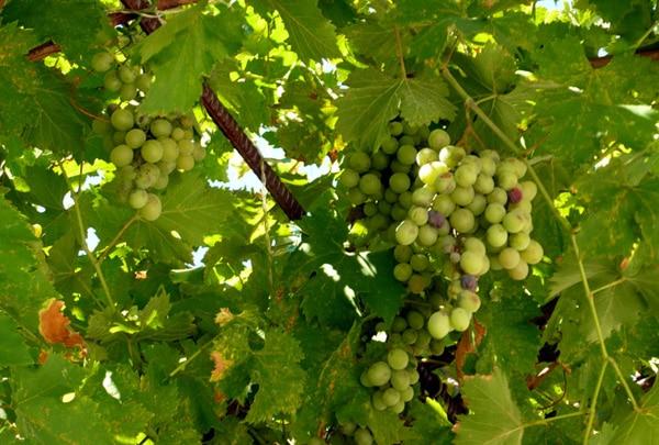 Обработка винограда весной медным купоросом: дозировка, пропорции, как развести