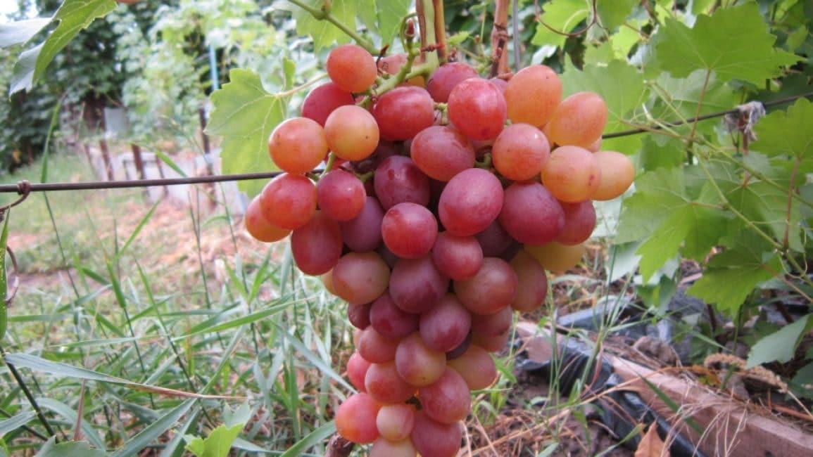 Сорта винограда - описание, самые лучшие ранние сорта для вина и рынка