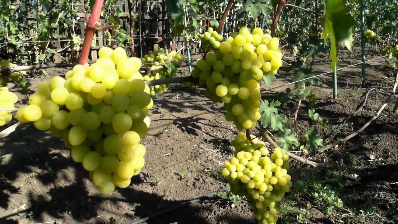 Болезнь винограда мильдью как с ней бороться