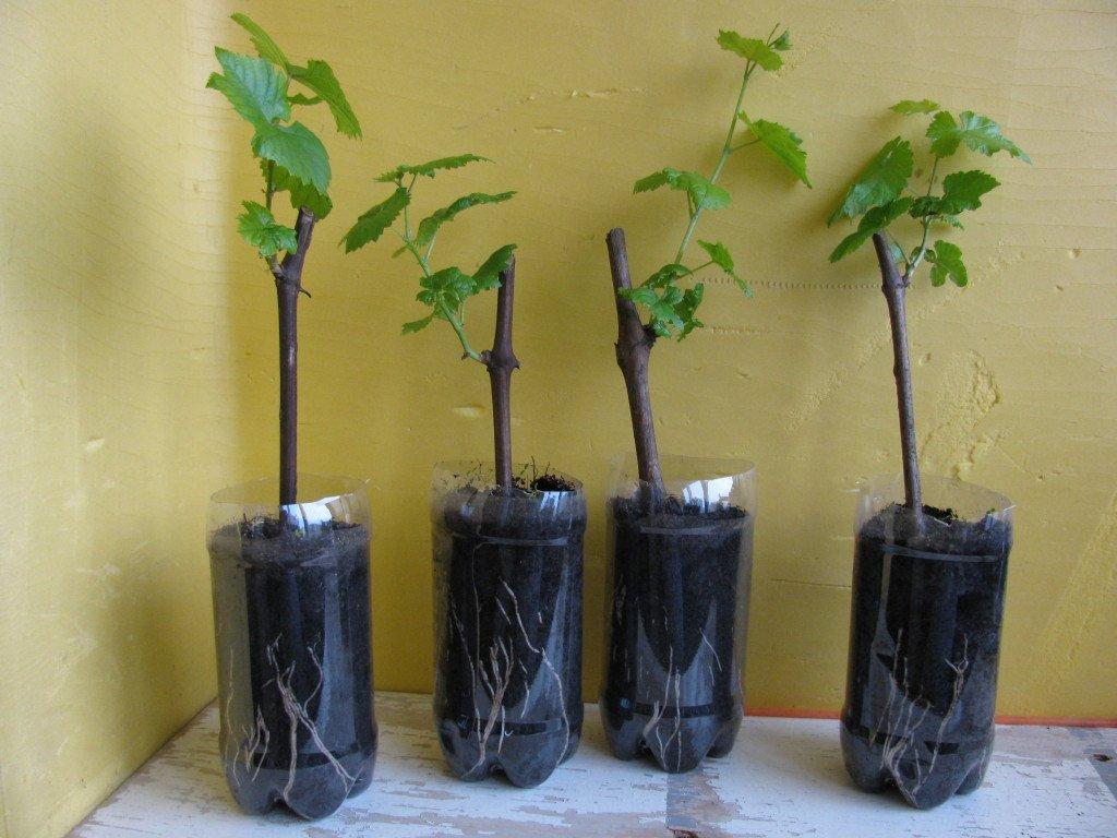 Как правильно посадить виноград когда лучше высаживать саженцы