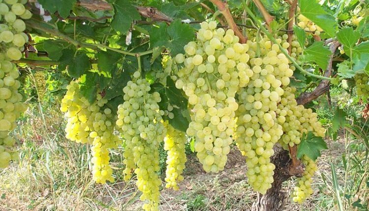 Как привить виноград весной на старый куст