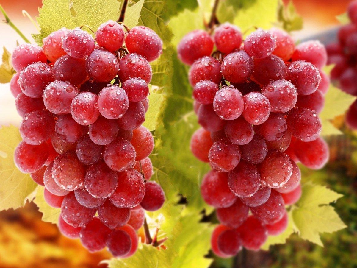 Самые неприхотливые сорта винограда для подмосковья