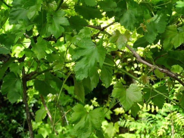 Описание и особенности сорта винограда Долгожданный