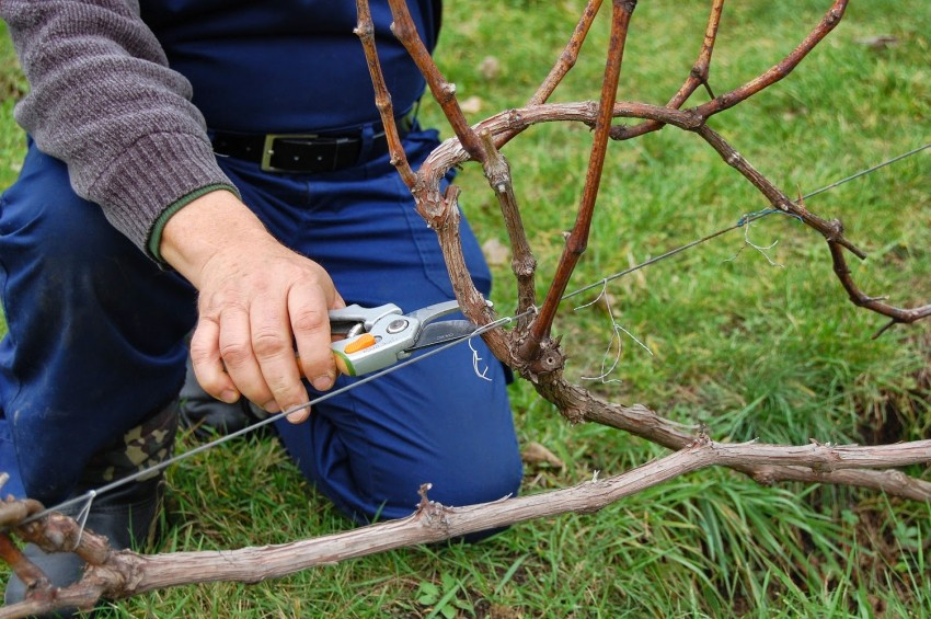 Виноград кишмиш укрытие