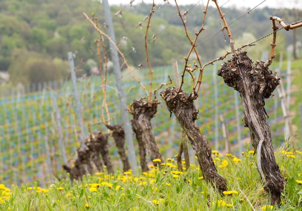 Опрыскивание винограда осенью: обработка против болезней и вредителей перед укрытием на зиму
