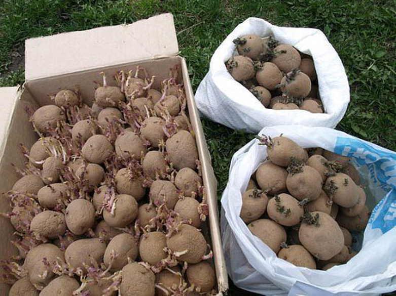 Сорта кормового картофеля для животных с характеристиками    Картофель это овощная культура