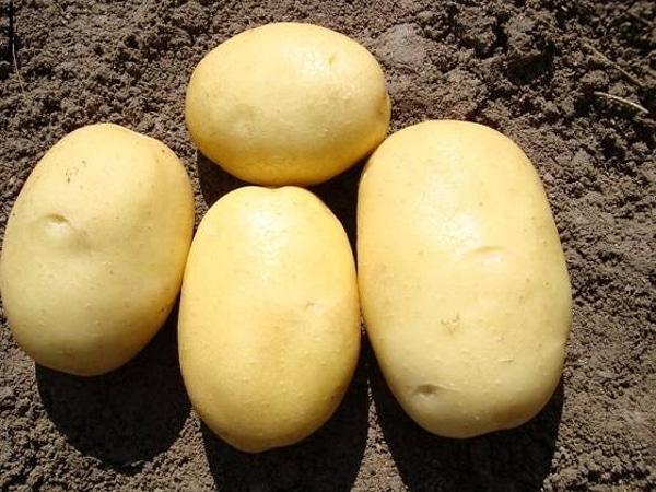 Описание сорта картофеля Джувел его характеристика и урожайность
