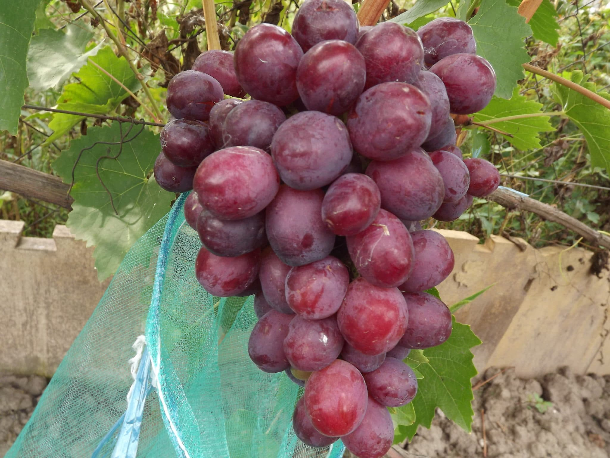 Виноград Сенатор: характеристика павловского сорта Vitis Senator, отзывы, описание ягод, полив, подкормка, обрезка