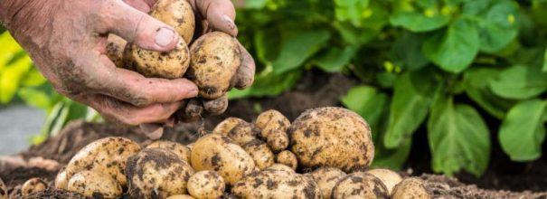 Правильная посадка картофеля расстояние