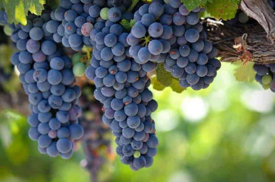 Виноград зилга обрезка