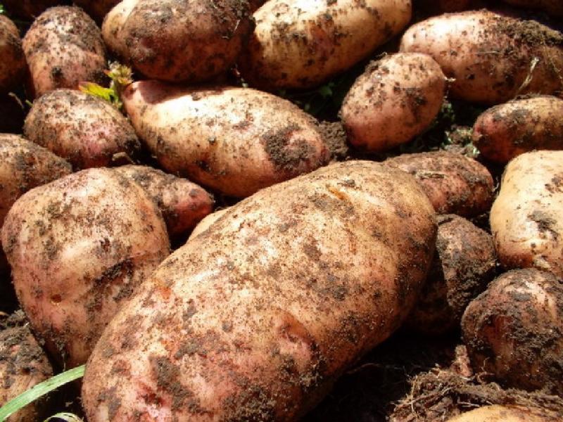 """Картофель """"лапоть"""": описание сорта, фото, отзывы, урожайность"""