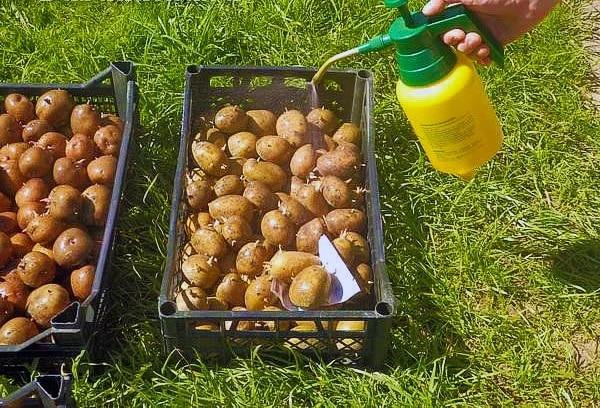 Обработка картофеля перед посадкой весной: проращивание, замачивание, прогревание и т.д.