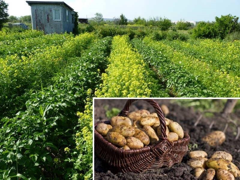 Посадка сидератов осенью после картофеля