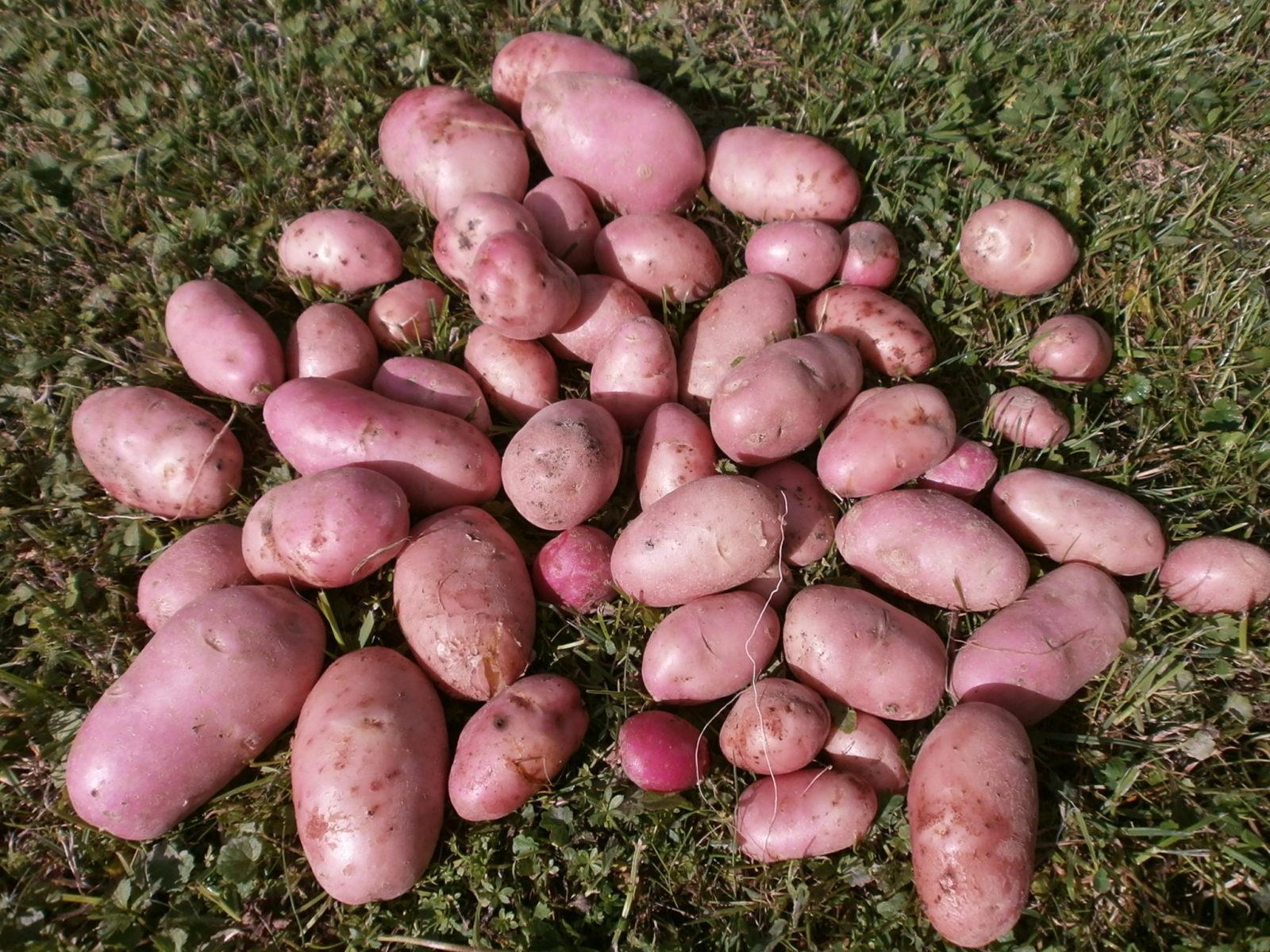 Картофель Розара характеристика и описание сорта правила выращивания и ухода