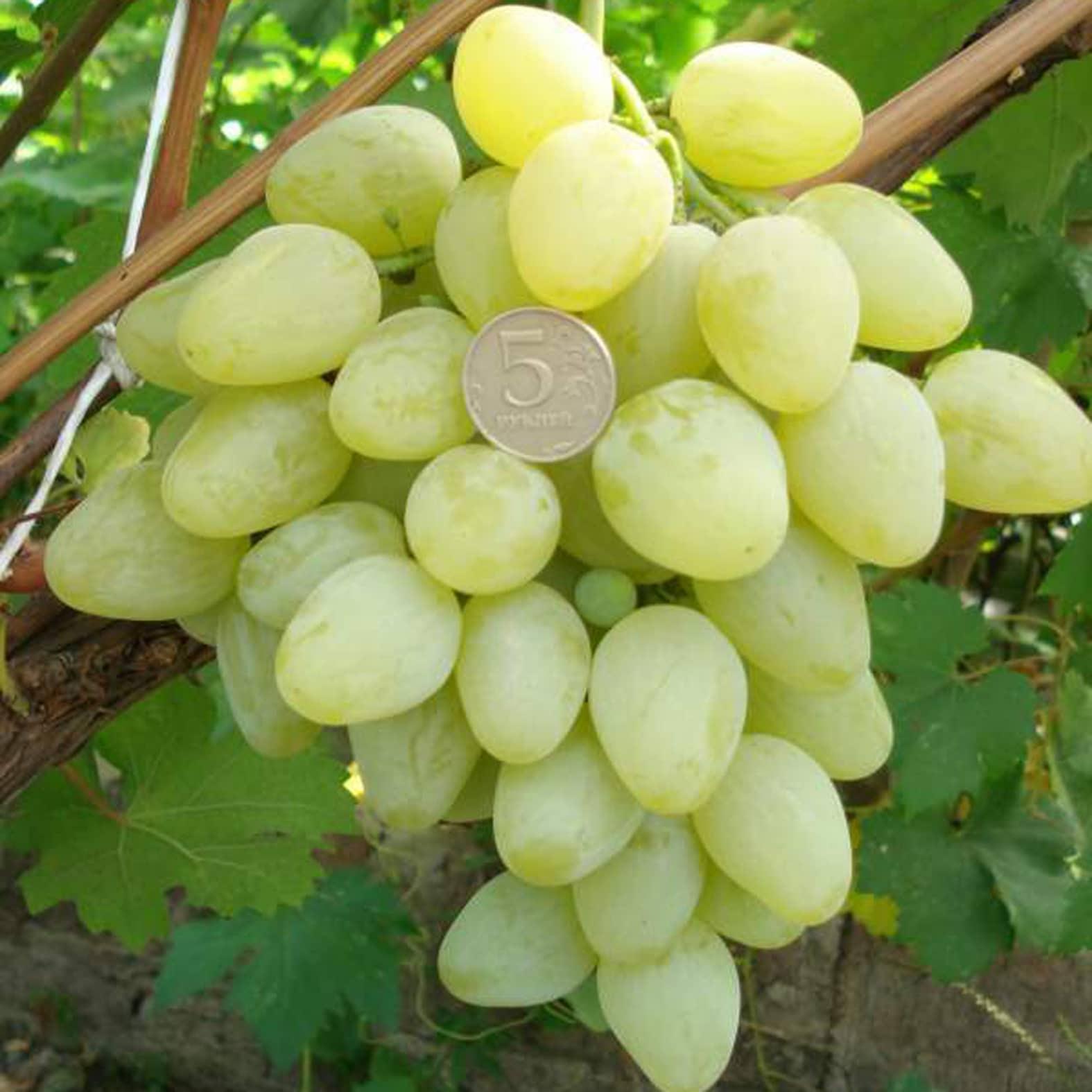 Виноград тоффи описание сорта