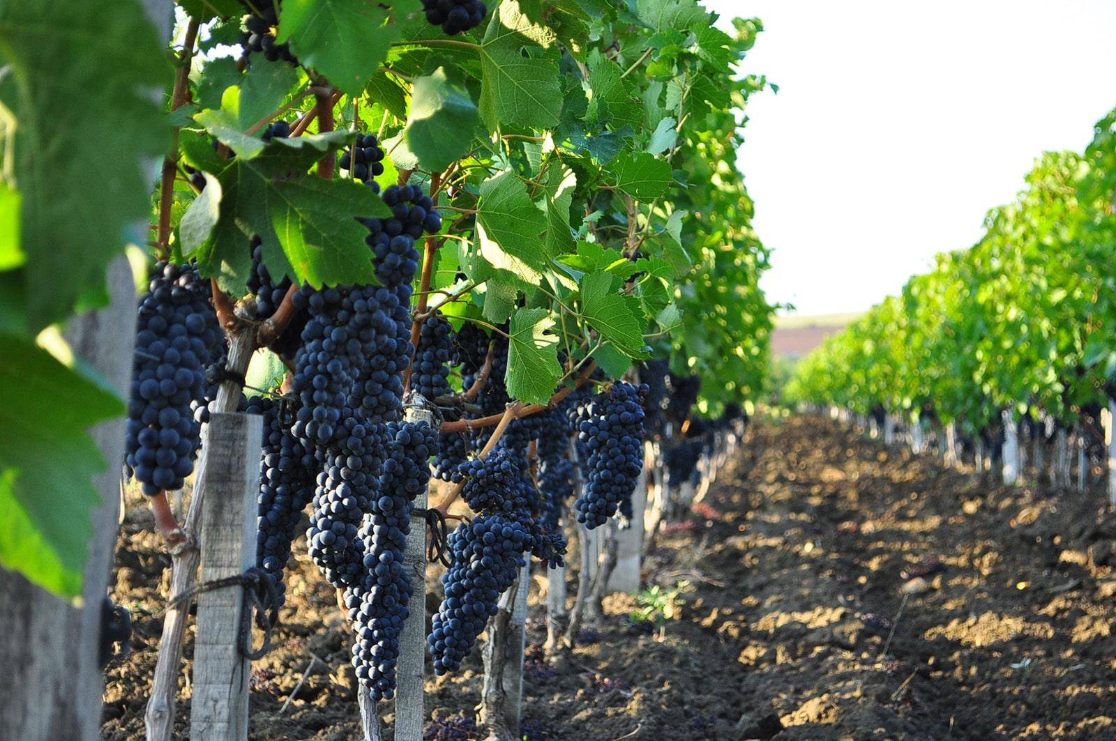 Железный купорос на винограднике