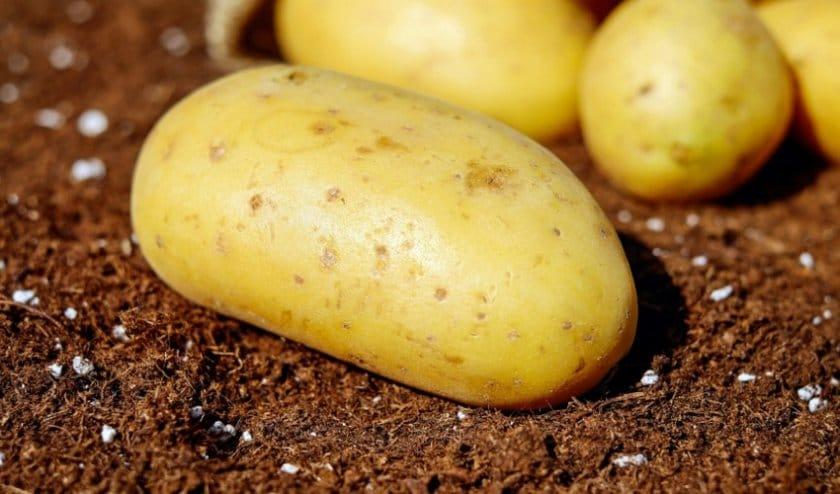 Картофель лорх характеристика и описание сорта отзывы дачников с фото