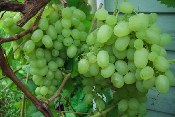 Виноград маковей